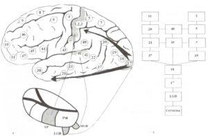 Упорядоченные кортикальные проекции сенсорных систем