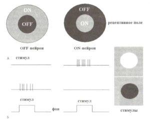 ON- и OFF-нейроны зрительной системы