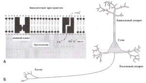 Главные элементы нейронной мембраны
