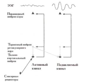 Латеральное торможение в таламокортикальных цепях