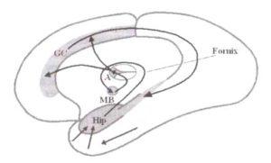 Анатомические структуры, в которых наблюдаются тета-ритмы