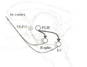 Мозговые ядра, вовлеченные в регулирование цикла «бодрствование — сон»
