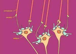 Соединение оптоаксонов с нейронами