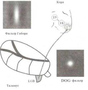 Рецептивные поля нейронов таламуса и зрительной коры