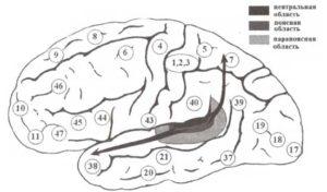 «Что» и «где» потоки обработки информации на уровне слуховой коры