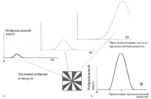Пространственная частота и селективность ориентации сложных клеток канонического кортикального модуля