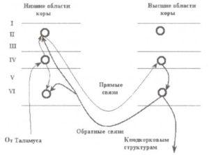 Прямые и обратные связи коры
