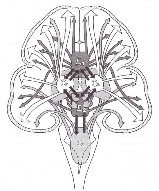 Восходящая ретикулокортикальная неспецифическая система регуляции уровня функциональной активности мозга.