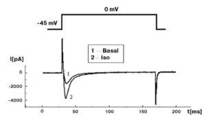 Са2+-ток рабочего кардиомиоцита мыши