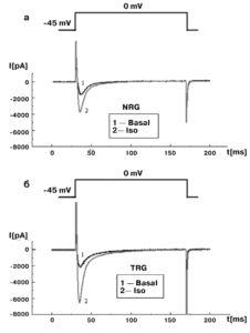 Влияние изопротеренола Ca2+ток кардиомиоцитов