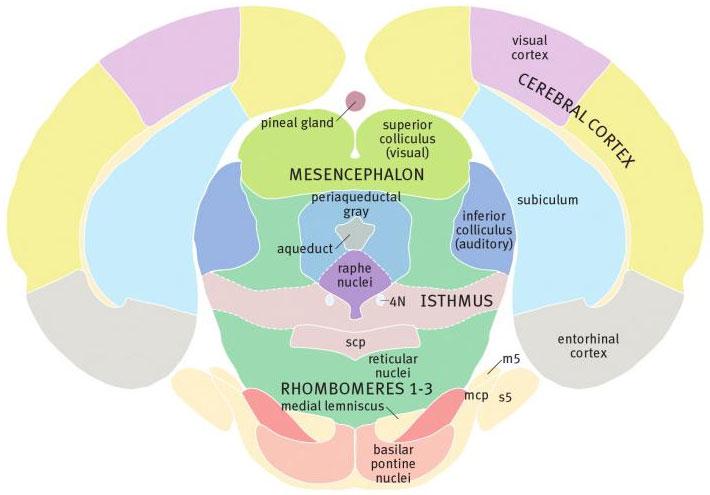 ствол мозга крысы на уровне среднего мозга