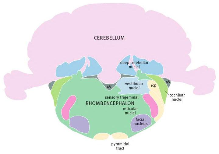 Задний мозг крысы на уровне лицевого ядра