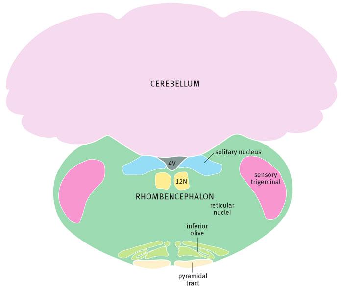 Задний мозг крысы на уровне нижней оливы