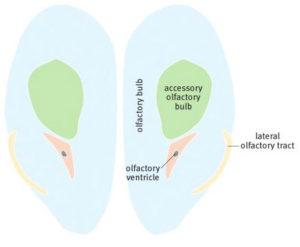 Обонятельные луковицы мозга крысы