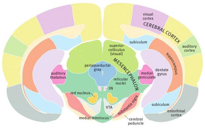 Ростральный конец среднего мозга крысы