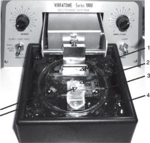 Приготовление срезов мозга мыши при помощи вибратома