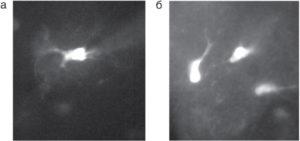 Флуоресцентные изображения клетки