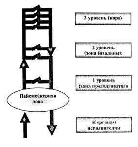 Блок-схема анатомофункциональной организации ЦНС
